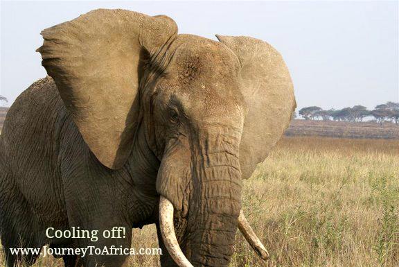 African elephant ears!
