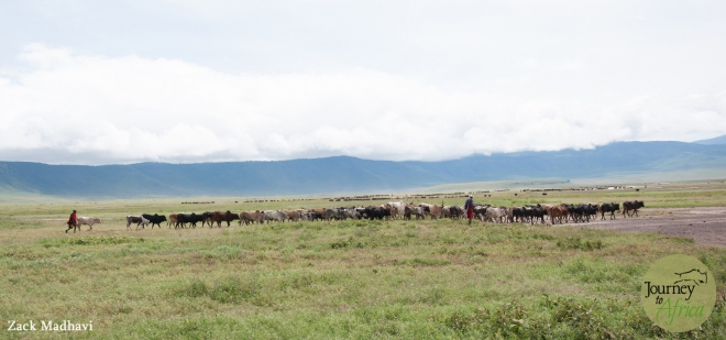 Maasai tribe members walking their cows to Lake Magadi