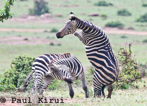 Stunning capture of zebras fighting.