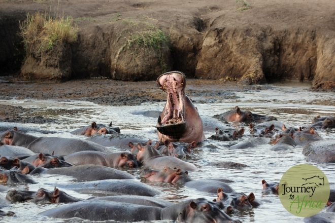Hippo yawn taken at the hippo pool in Central Serengeti - June 2014