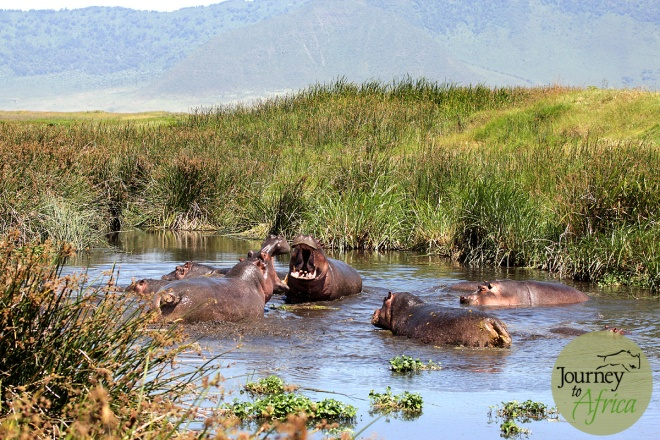 Hippo fighting in Ngorongoro Crater - June 2014.