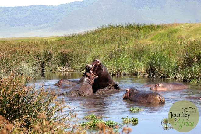 hippo_fighting_2