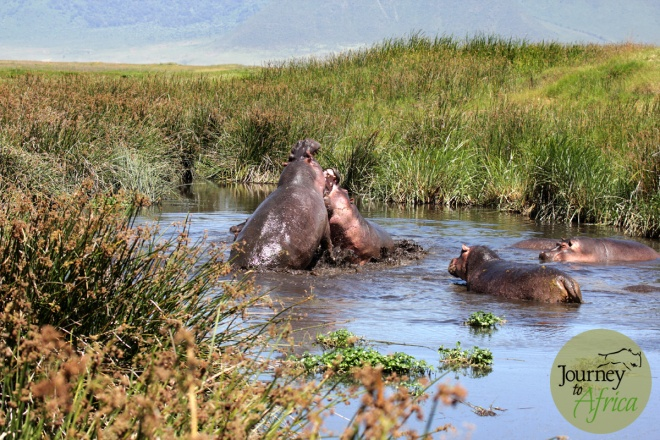 hippo_fighting_3