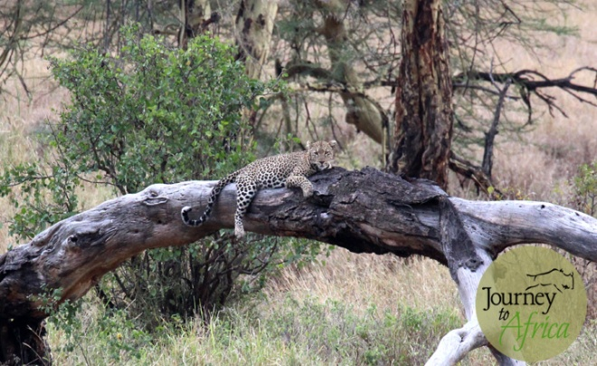 leopard_in_serengeti