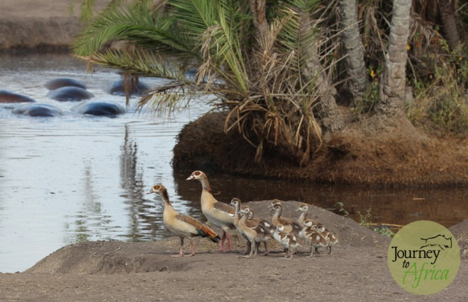 Egyptian Geese at the Hippo Pool in Central Serengeti