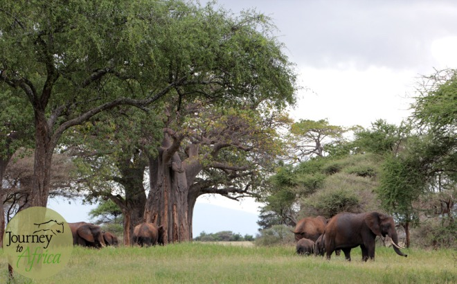 Family of elephants near a magnificent baobab tree