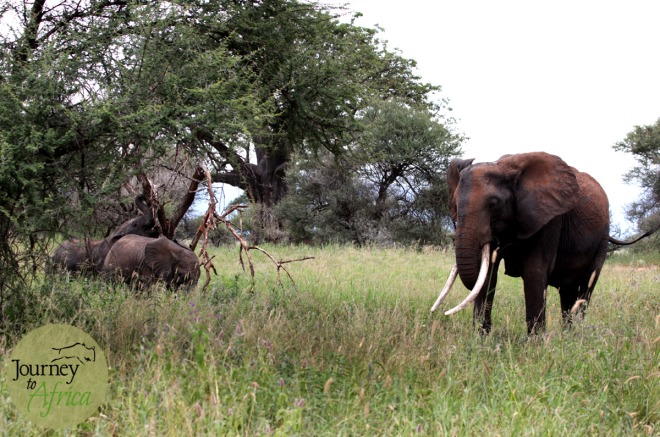 Large tusker mama elephant watching over the two baby elephants.