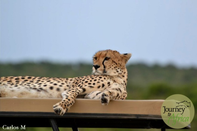 Leopard on top of a Safari vehicle in Masai Mara.