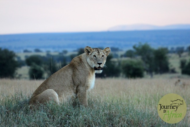 Lion staring right at your in Northern Serengeti.