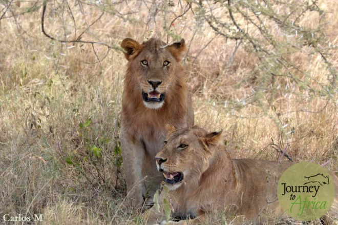A young lion couple.