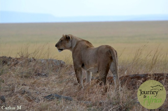 Lion looking at the open savannah. What a view!