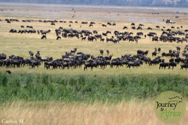 Wildebeest in Northern Serengeti.