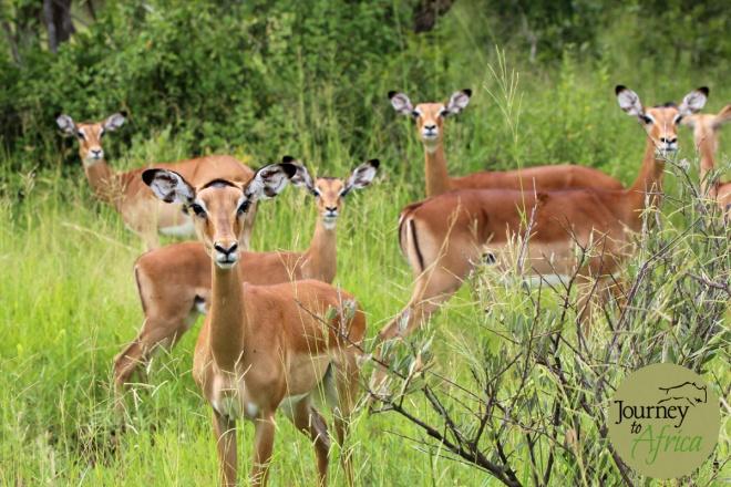 impala_ladies