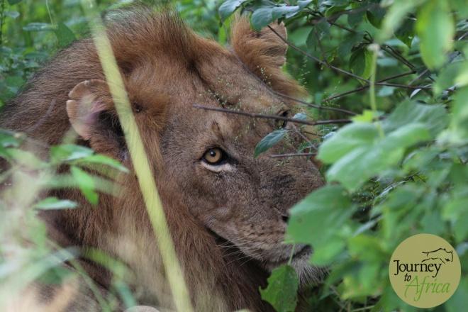 lion_stare