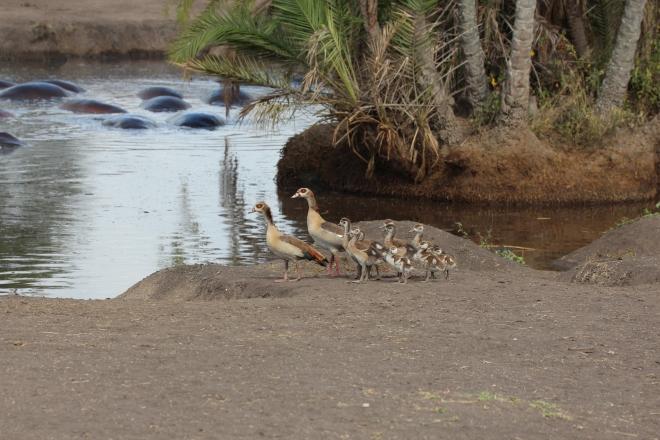 Egyptian_Geese_family