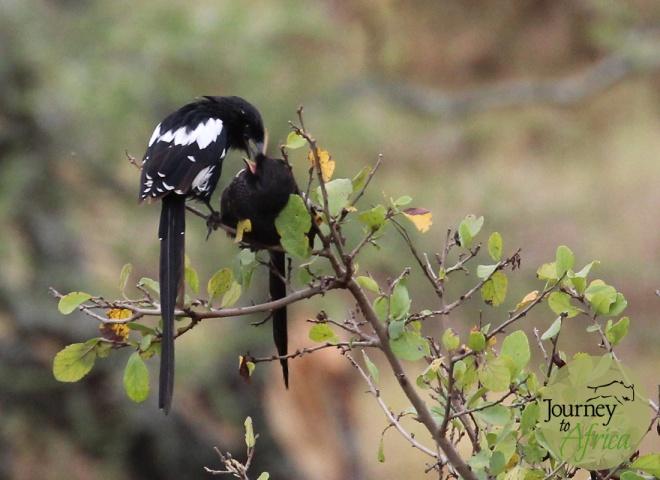 magpie feeding