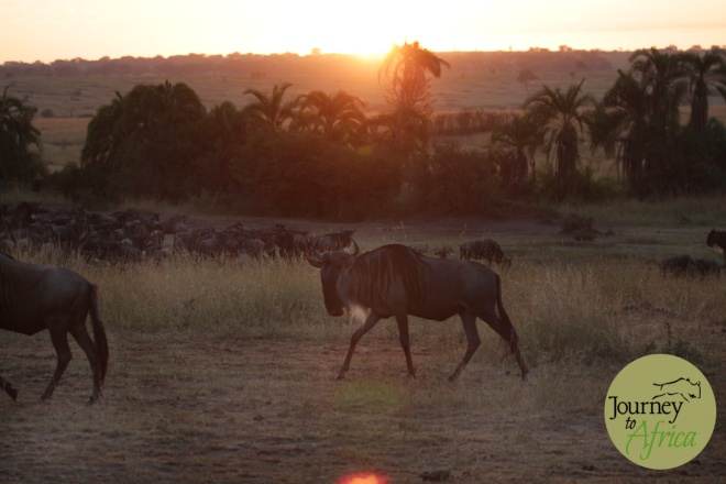 sunrise_wildebeest