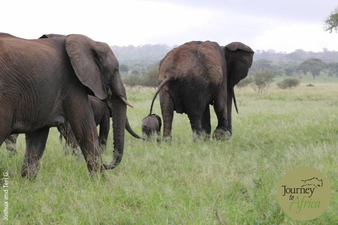 elephant_baby_leading