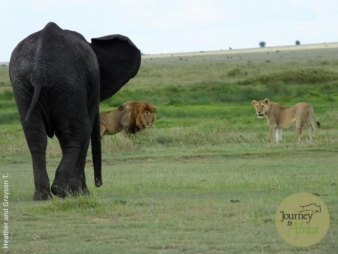 Elephant_Lion