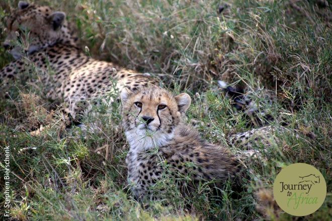 cheetah_stare